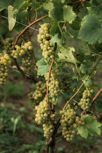 Green Grapes Growing On Vine
