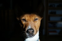 Cute Basenji Sitting With It's Face In The Sun