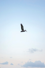 Pelican Flying In Sky
