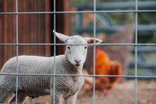 Lamb Behind Fence