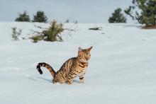 Bengal Cat Peeing On Snow