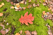 Lush Green Moss With Dry Pine Needles And Oak Leaf In The Forest. Autumn Background With Green Textured Moss And Yellow Autumn Leaves. Forest In November With Wet Fluffy  Moss And Red Beautiful Leaf