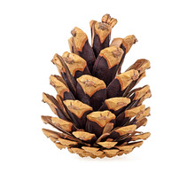 Brown Pine Cone Isolated On Wh...
