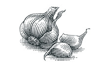 Garlic Composition. Hand Drawn Engraving Style Illustrations.