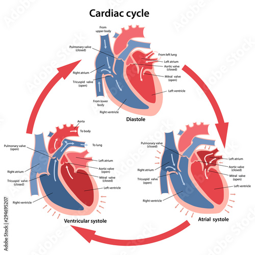 Obraz na płótnie Diagram of the phases of cardiac cycle with main parts labeled