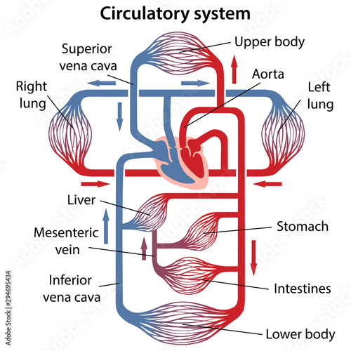 human circulatory system diagram diagram of human circulatory system with main parts labeled  diagram of human circulatory system