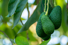 Cultivation Of Tasty Hass Avocado Trees, Organic Avocado Plantations In Costa Tropical, Andalusia, Spain