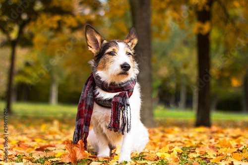 Autumn dog, a cute puppy with a scarf sits in colorful leaves in the park outside Wallpaper Mural