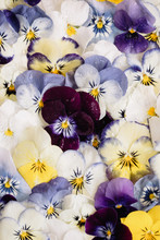 Close Up Of Colorful Wet Pansies Pattern
