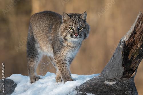 Photo Bobcat (Lynx rufus) Stands Next to Log Spur Winter
