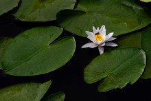 Water Flower White Water Lily In The Pond.