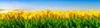 canvas print picture - Gelb blühende Tulpen auf einem Feld