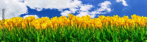 Gelb blühende Tulpen auf einem Feld - 294709618