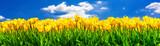 Fototapeta Tulipany - Gelb blühende Tulpen auf einem Feld