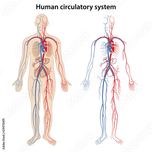 Human arterial and venous circulatory system Wallpaper Mural
