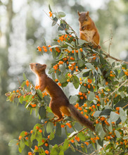 Red Squirrels Stand On Honeysuckle Branches