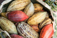 Colorful Cacao Seeds In Palm B...