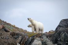 Polar Bear Explores Rocky Shoreline, Torngat Mountains National Park