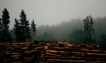 A Pile Of Logs In Forest In Th...