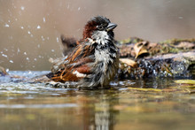 Male Homemade Sparrow , Passer Domesticus, Bathing In Stream Spain
