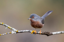 Dartford Warbler, , Sylvia Undata,, Perched On A Branch Of A Tree Spain