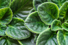 Violet Saintpaulias Green Leaves Or African Violets, Macro Shot, House Plant And Nature Background.African Violet Flowers (Saintpaulia) Closeup Look At Rare Patterns On Petals. Selective Focus.