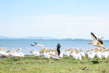Large White Pelican Flock At C...