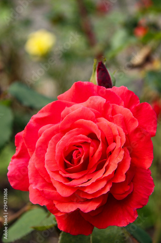 Close-up of Red Rose in Garden