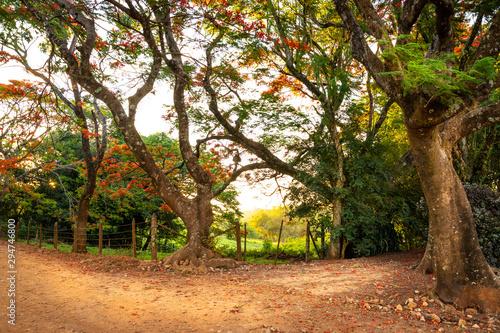 Fotografiet  caminho na fazenda com flamboyants