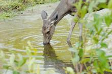 Thirsty Deer Drinking Water