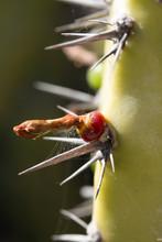 Detail Of Cochal Cactus, Myrti...