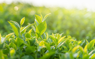 Green tea buds and leaves at early morning on plantation