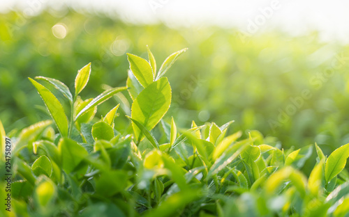 Photo  Green tea buds and leaves at early morning on plantation