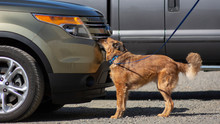 Side View Of Medium Sized Mix-breed Dog On Leash, Sniffing Automobile, Doing Scent Work During A Vehicle Search
