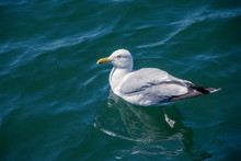 Herring Sea Gull Wimming In Th...