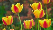 Red Yellow Tulips In A Spring ...