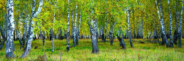 Panel Szklany Podświetlane Brzoza Summer scene in a birch forest lit by the sun. Summer landscape with green birch forest. White birches and green leaves.