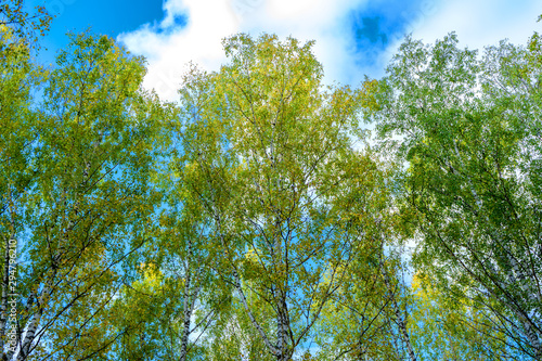 Summer scene in a birch forest lit by the sun. Summer landscape with green birch forest. White birches and green leaves