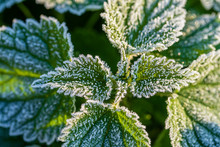 Green Leaves Of Nettle In The First Frost, Close Up. Green Leaves Of Nettle With Hoarfrost After The First Morning Frost