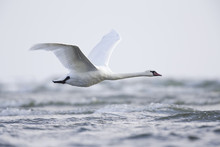 A Mute Swan Flying Low Above T...
