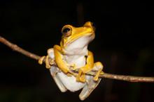 Arboreal Frog From Sri Lanka