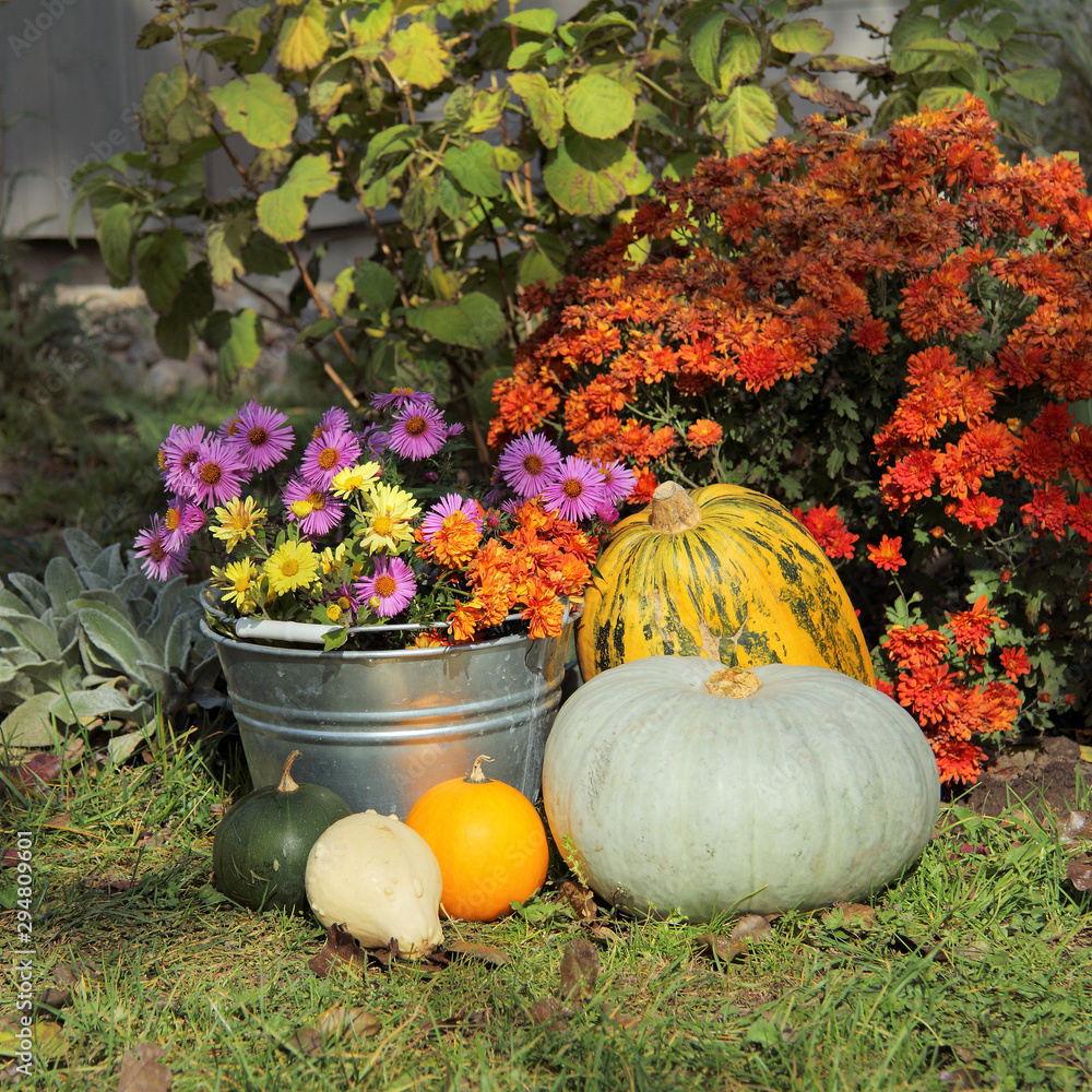 Fototapeta Autumn flowers and decorative pumpkins in the yard. floriculture and gardening