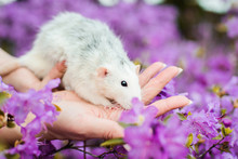Fancy Rat In Purple Azalea Blossom, Chinese New Year 2020