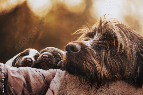 Fototapeta Family portrait of a Korthals Griffon mother with 2 very young pups obraz