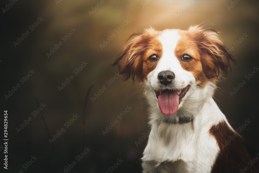 Fototapety, obrazy: Portrait of a cute Kooiker dog smiling and looking straight in the lens