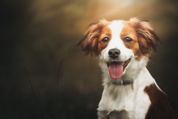 FototapetaPortrait of a cute Kooiker dog smiling and looking straight in the lens