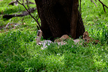 Glimpse Of A Recumbent Lion Cub