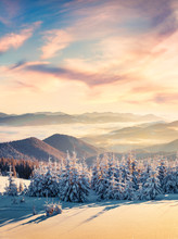 Incredible Winter Scene Of Carpathian Mountains With Snow Covered Fir Trees. Spectacular Outdoor Scene Of Moumtain Forest. Beauty Of Nature Concept Background.