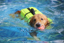 Golden Retriever Wear Life Jacket And Hold Toy In Mouth In Swimming Pool. Dog  Play With Ball. Dog Swimming.