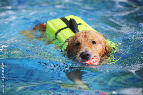 Canvas Print Golden Retriever wear life jacket and hold toy in mouth in swimming pool
